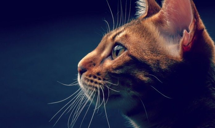 spiritual cat