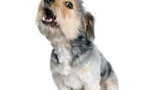 shih-tzu-barking