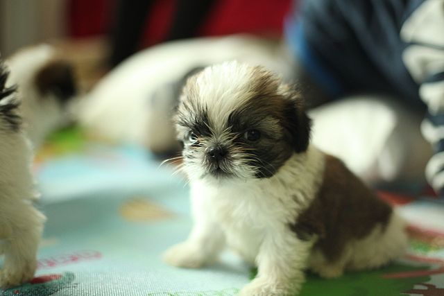 Shih Tzu Pregnancy And Proper Care Shih Tzu Time