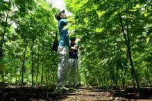 生産大麻の「無毒性」チェック 栃木県、鹿沼の畑で収去検査【動画】