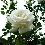四季の里の秋薔薇