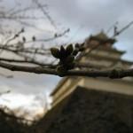 日本の桜名所 100 選に選ばれている鶴ヶ城。桜の開花も間もなくです。見頃は 4 月中旬だとか。