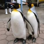 おさんぽに出かけるオオサマペンギン。館内の広場をよちよち歩きまわるので、写真を撮り放題です。