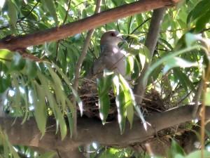 自宅の近くで発見した、キジバトの巣。親が卵を温めています。(2009-04-10 撮影)