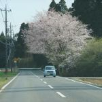 成田市に入ったあたりで、桜が満開になりました。