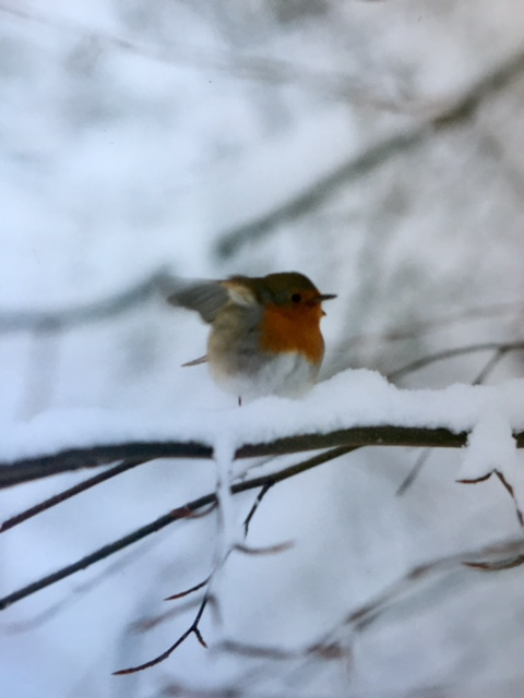 A confused robin on a snow-laden branch. Feb. 6, 1996