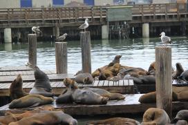כלבי ים בסן פרנסיסקו