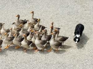 สุนัขช่วยคุมฝูงสัตว์