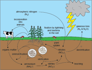 Biology The Nitrogen Cycle  Shmoop Biology