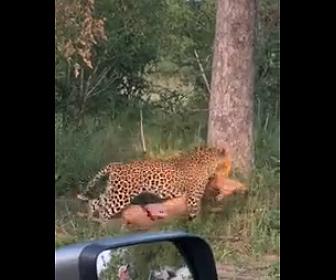 【動画】ヒョウが自分より大きな獲物を捕らえ木の上に運ぶ衝撃映像