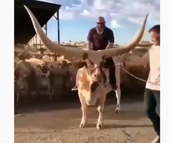【衝撃】角が巨大な牛の背中に男性が乗る衝撃映像