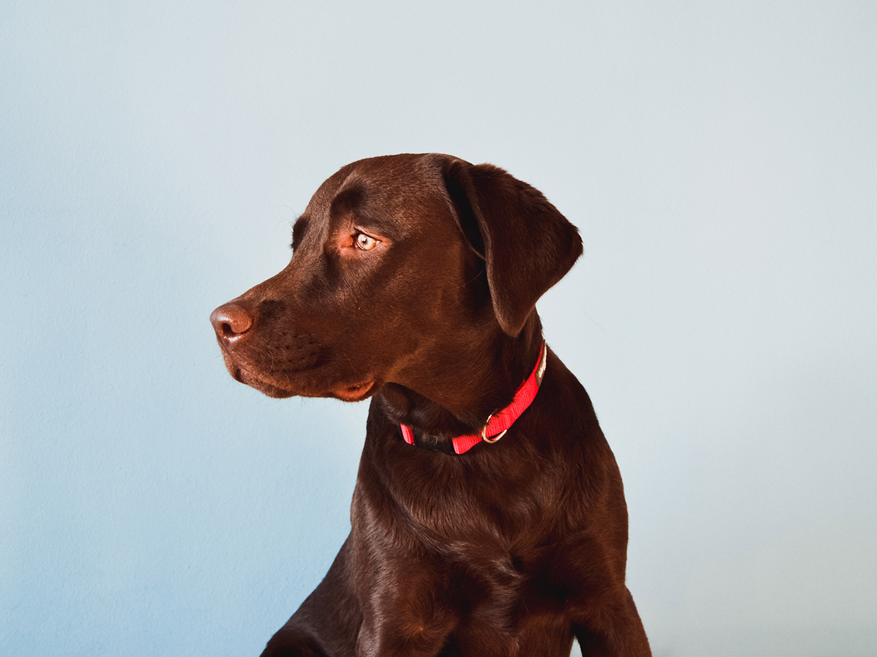A brown dog with red collar