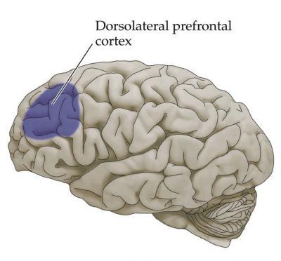 Dorsolateral Prefrontal Cortex (DLPFC): Heart Of Life\'s Success ...