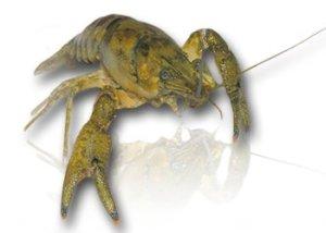 Spinycheek Crayfish - a US native.