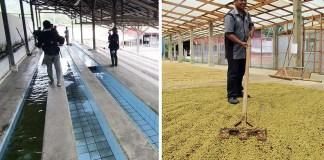 水路(左)で選別され乾燥場に送られるパーチメント(パダマラン農園 トアルコ・ジャヤ社)