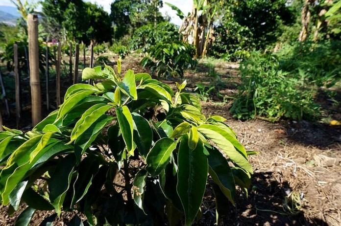 コロンビアのピンクブルボン種