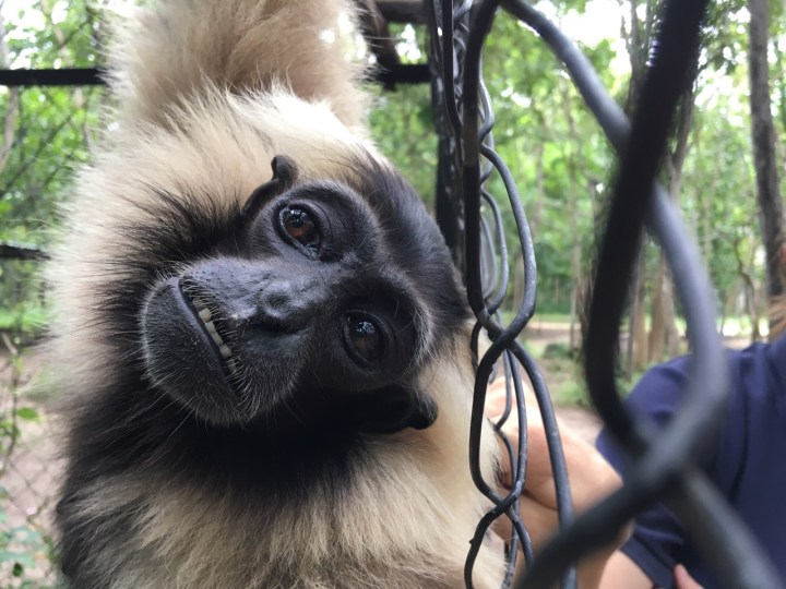 Smile like a gibbon!