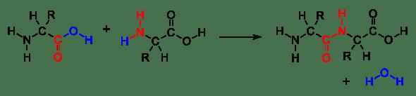 AminoacidCondensation.svg.png