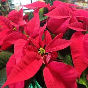 Holiday Plants and Bulbs