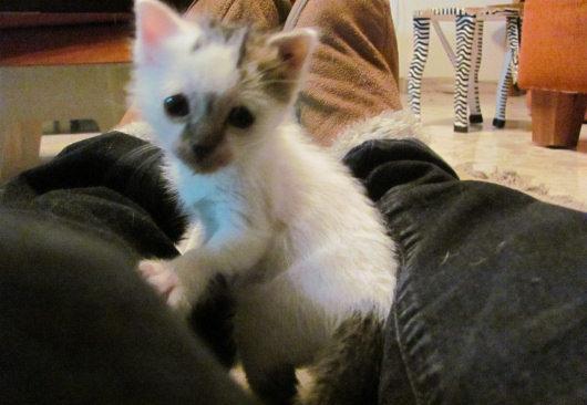 קיטי חתלתולה לאימוץ