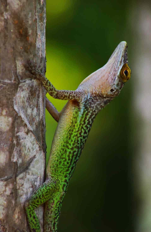 Tree Lizard