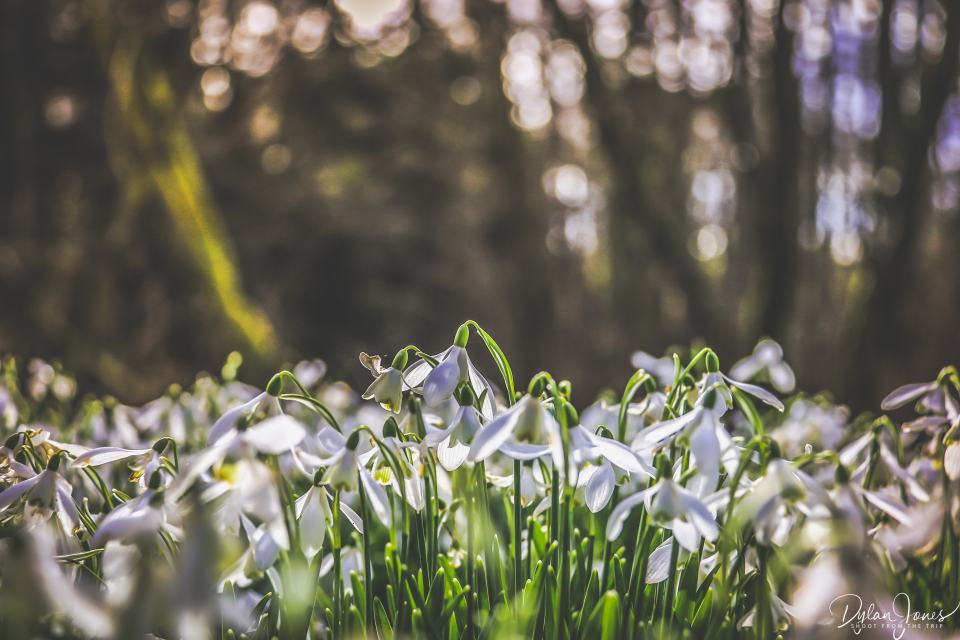 The sunlight reflecting on the snowdrops in Welford Park