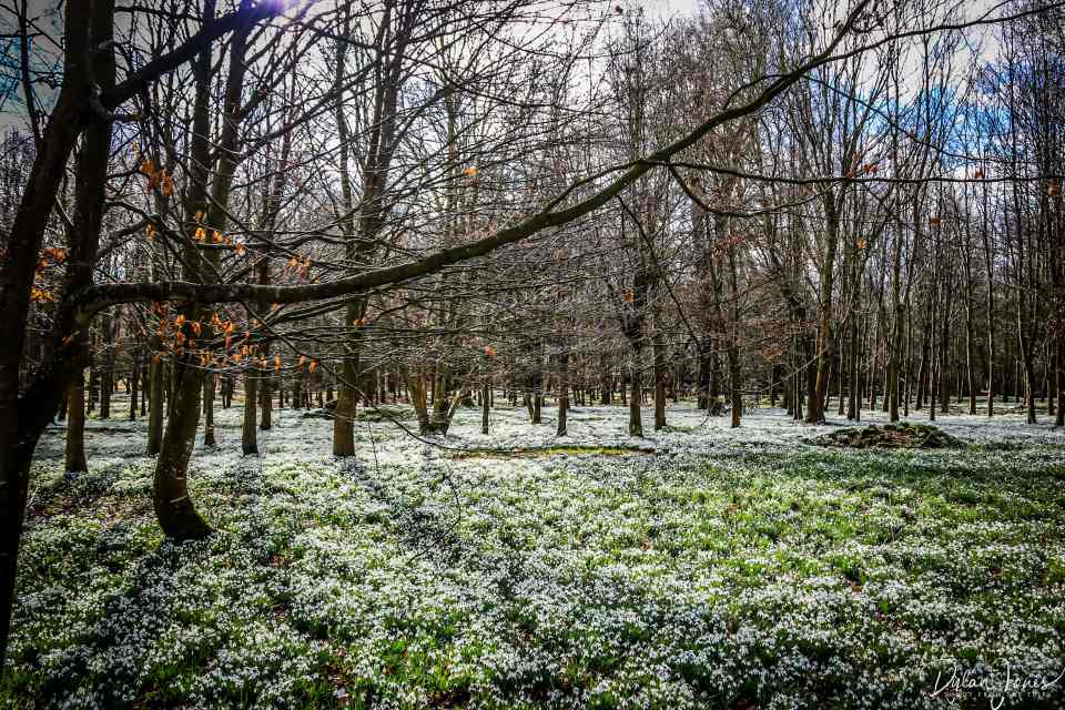 Beech woods carpeted in snowdrops at Welford Park