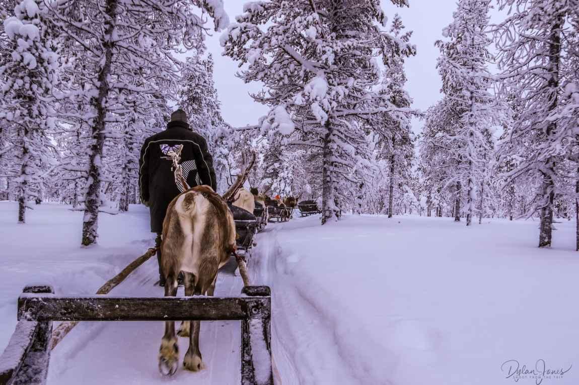 Reindeer Safari through the forest