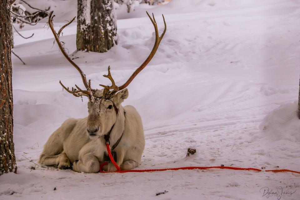 A resting reindeer, Saariselkä Lapland