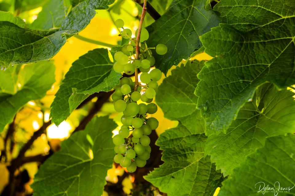 Green grapes at Gwinllan Conwy