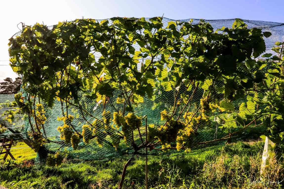 Grapes protected by nets in the run up to harvest at Gwinllan Conwy