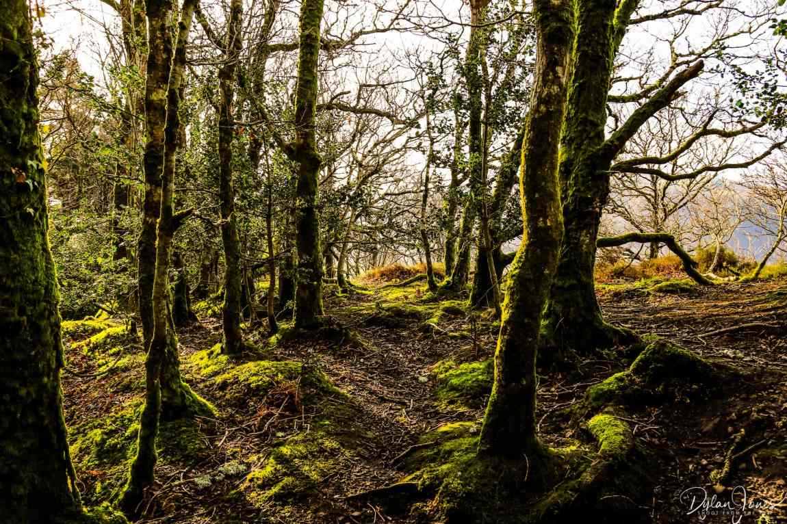 Moss covered trees near Cadair Ifan Goch