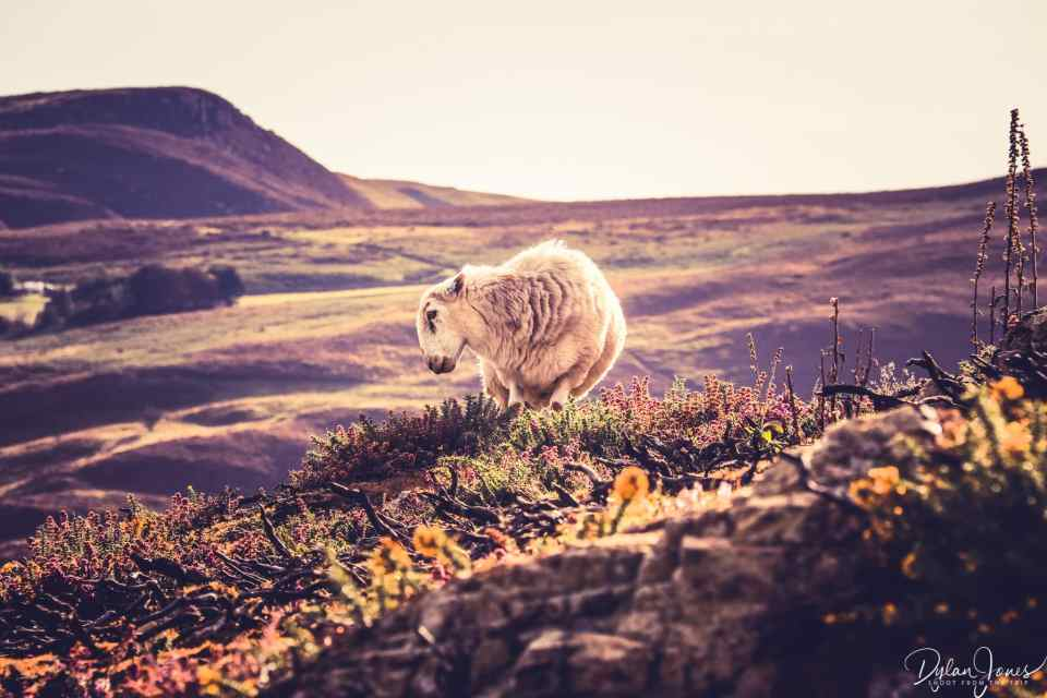 A sheep grazing on the moorland