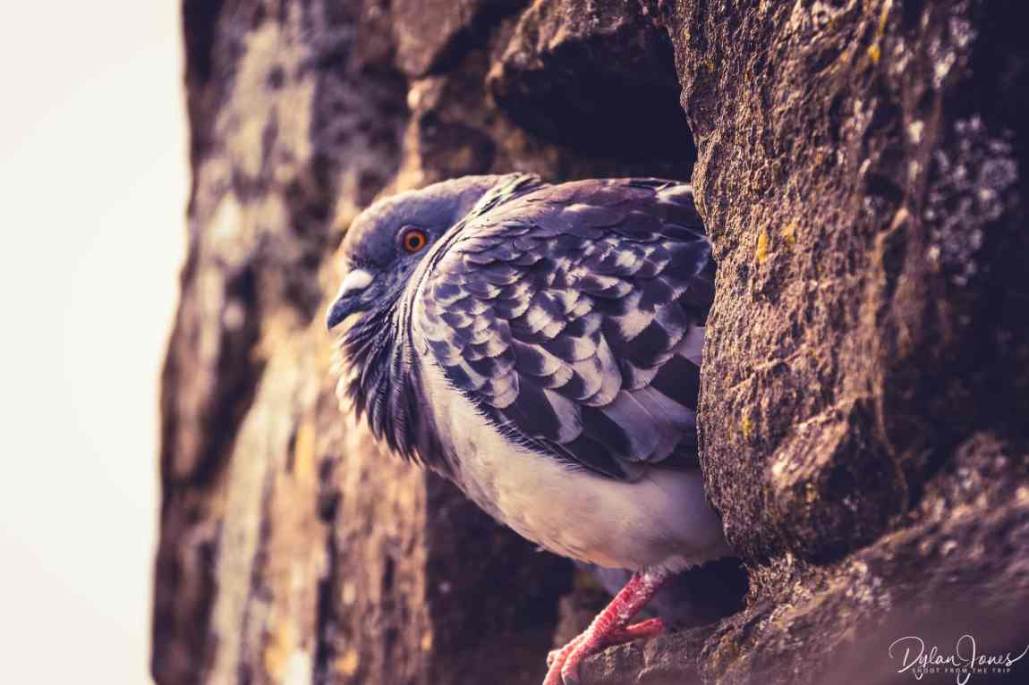 A pigeon resting on the Conwy Town Walls