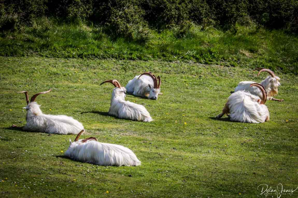 The Kashmiri Goats - recent attractions in LLandudno