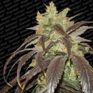 Paradise Seeds - Spoetnik 1