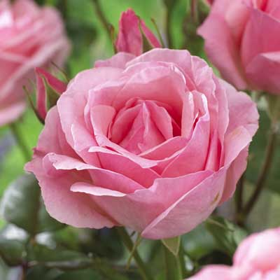 The Best Ever Hybrid Tea Rose Bush Collection Daily