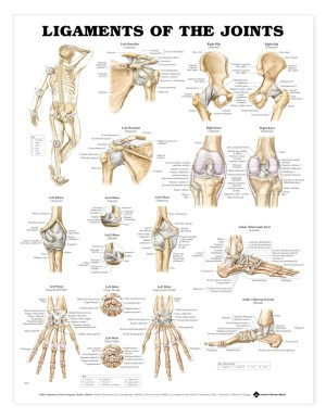 Ligaments of the Joints Anatomical Chart  Anatomy Models and Anatomical Charts