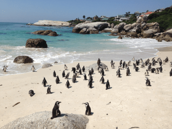 Penguins Boulders Beach Cape Town