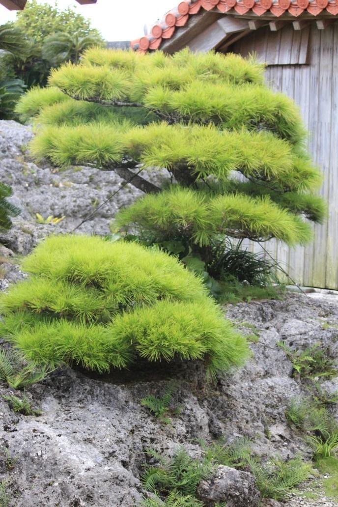 Bonsai Tree - Okinawa Japan
