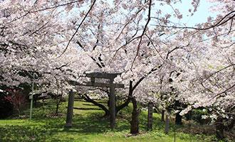 台の山公園の桜