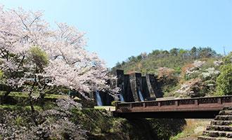 豊稔池の桜