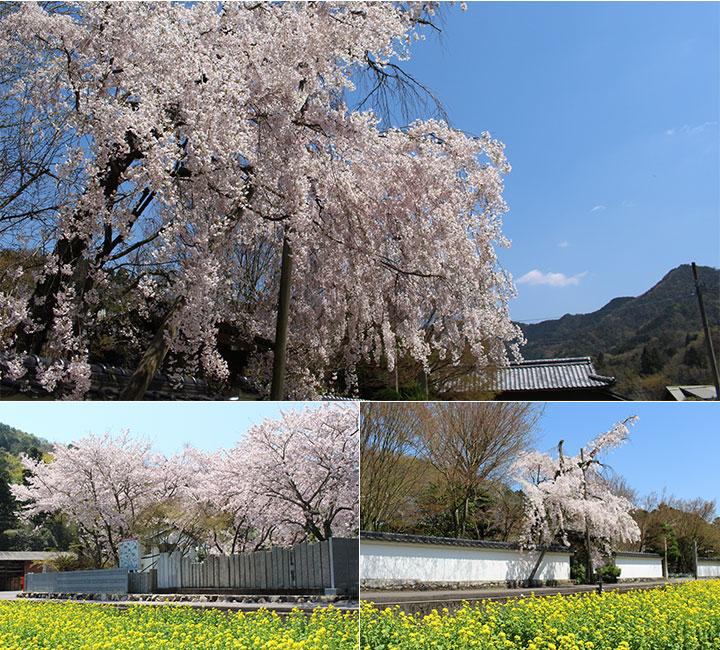 法泉寺の桜