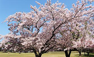 一の宮公園の桜