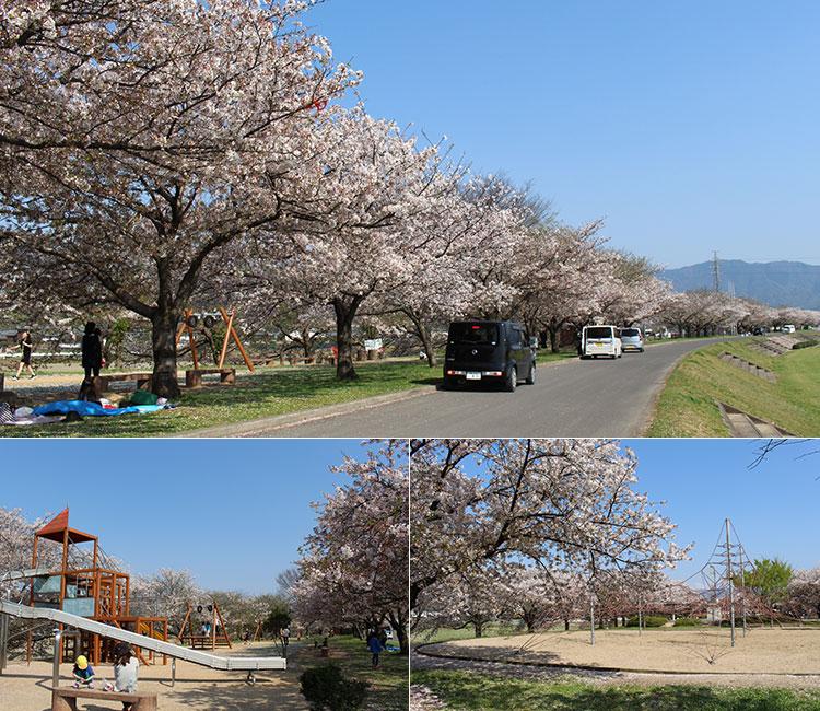 リバーサイドパークの桜