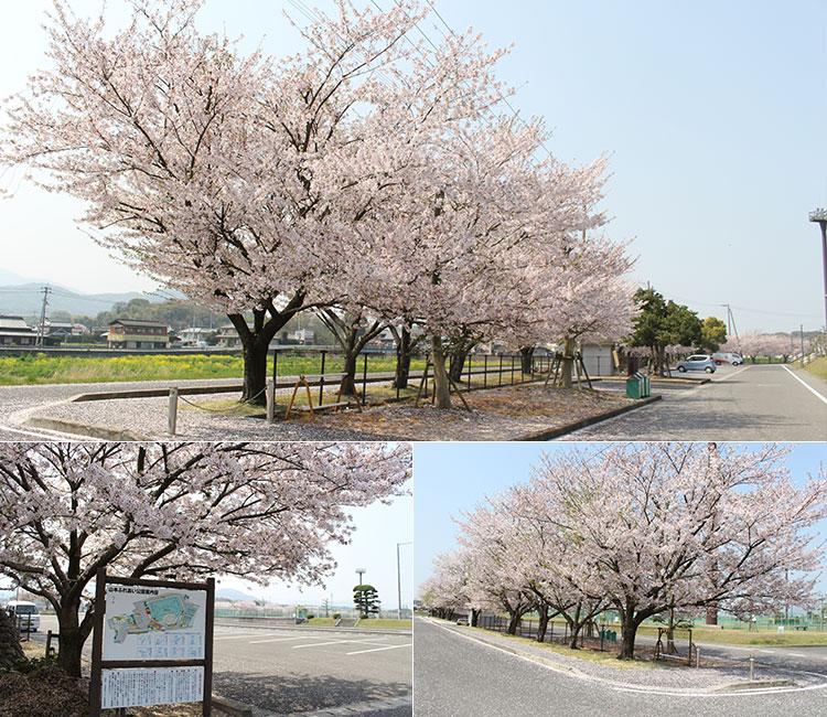 山本ふれあい公園の桜