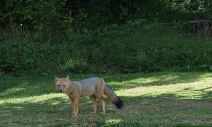 Fox at Puerto Frías
