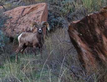 Bighorn sheep grazing along the Syncline Loop Trail, Arches National Park