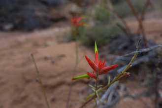 Red flower in Elephant Canyon, Canyonlands National Park