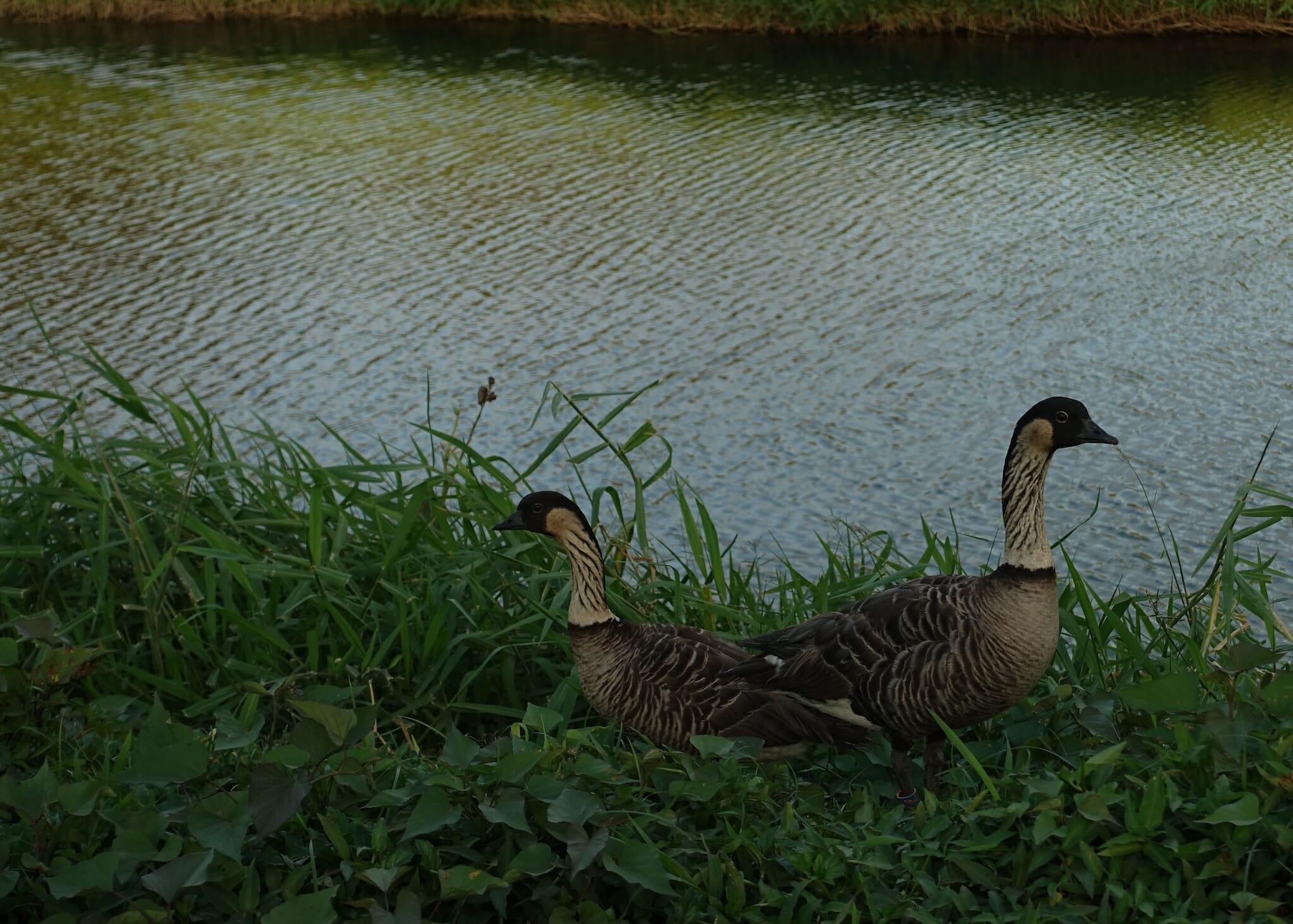 two Nēnē by the water in Hanalei National Wildlife Refuge